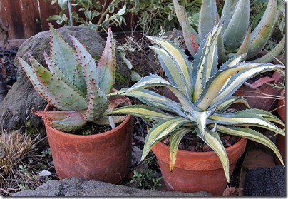 110216_agave_am_mediopicta_aurea