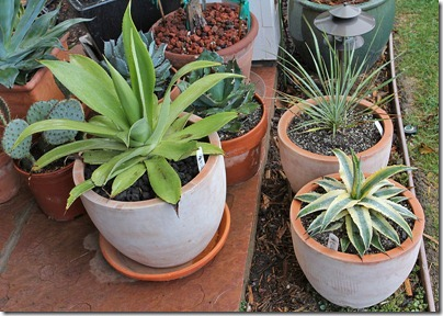 110216_potted_agaves