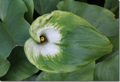 110219_Zantedeschia-aethiopica-'Green-Goddess'_03