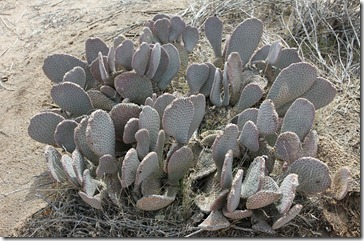 110221_joshua_tree_np_beavertail_pricklypear