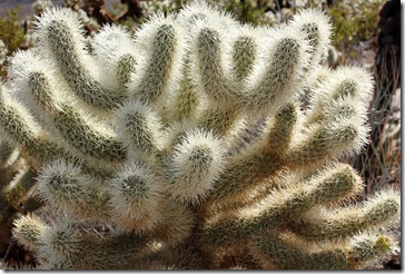 110221_joshua_tree_np_cholla_garden3