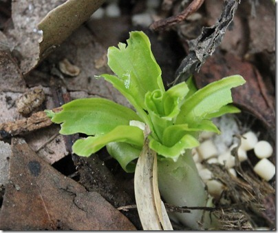 110313_chewed_hosta_leaf