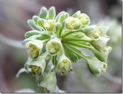 Euphorbia-characias-Glacier-Blue_2