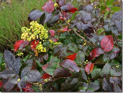 Berberis-aquifolium-var-repens