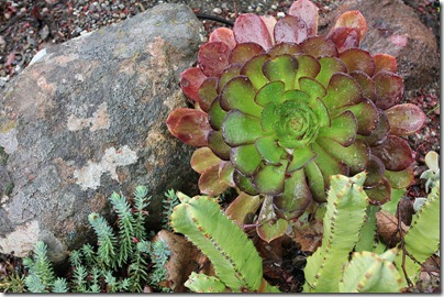 110324_Aeonium_Cyclops