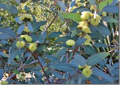 110409_Eucalyptus-preissiana_01