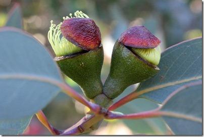 Eucalyptus-preissiana_09