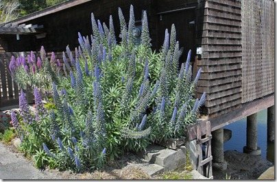 110410_echium_candicans1