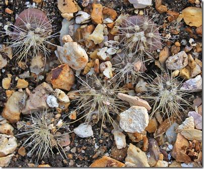 110502_cactus-seedlings