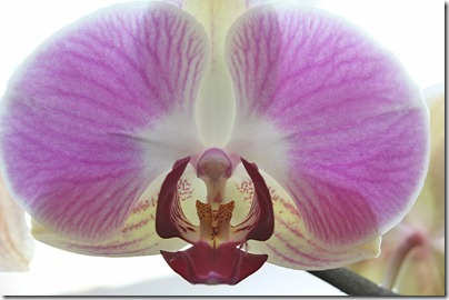 110424_Phalaenopsis4