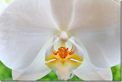 110424_Phalaenopsis2