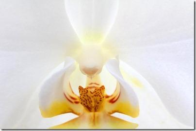 110424_Phalaenopsis1