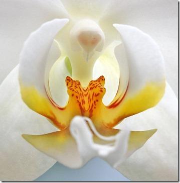 110424_Phalaenopsis6