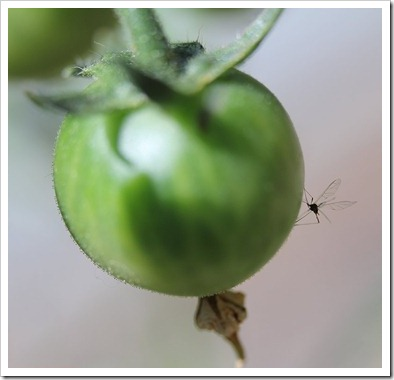 110510_tomato_with_insect
