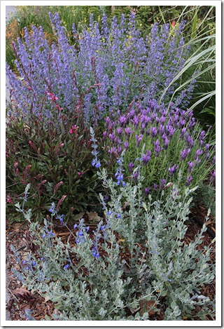 110511_ebluesage lavendar catmint