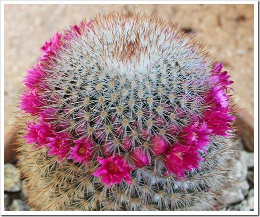 110509_Mammillaria-spinosissima_02