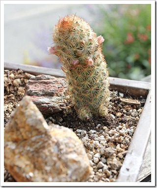 110510_Mammillaria-elongata-Julio_08