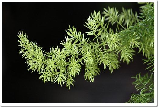 110524_asparagus_densiflorus_meyersii