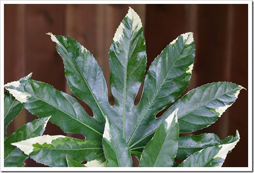 110524_fatsia_japonica_variegata_02