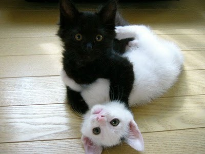 ying-and-yang-kittens-black-white-funny-kittens