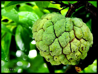 Atis or Sugar Apple