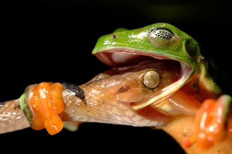 arabaquarius_frog_461