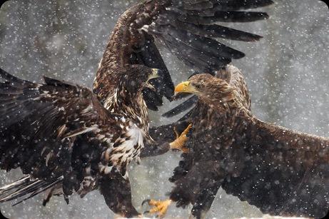 arabaquarius_eagle_461