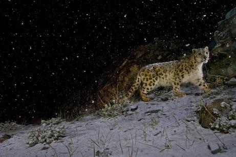 arabaquarius-snow_leopard