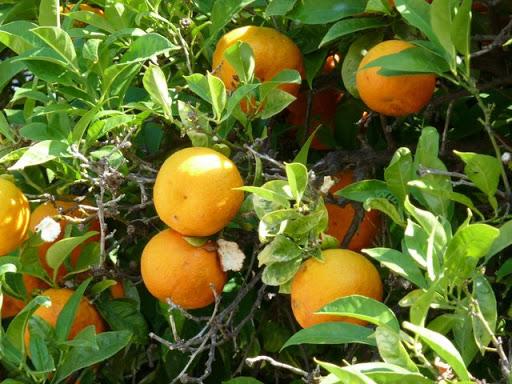 апельсины в фару