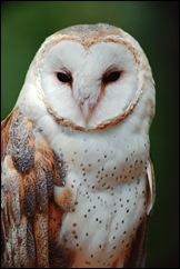 wildlife_barn_owl