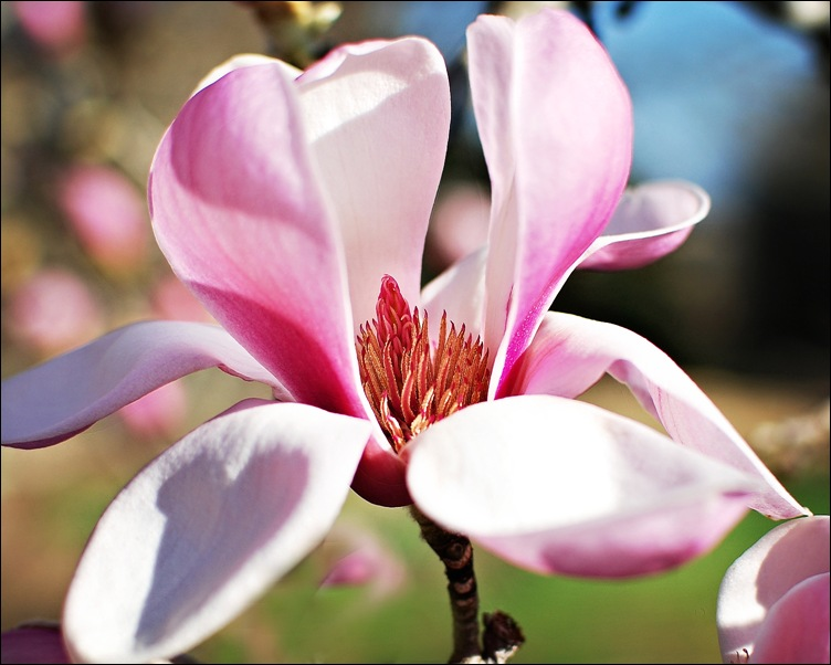 Magnolia3 copy
