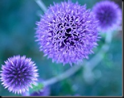 blue-to-purple-perennial-flowers-1