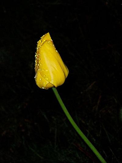 DSCF2385_f80_wet_tulip[1]
