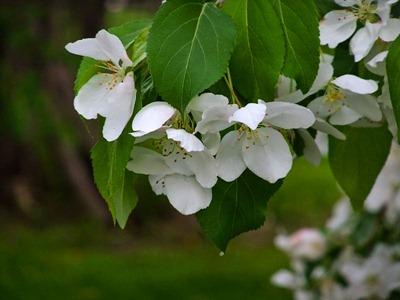 DSCF2426_apple_blossoms[1]