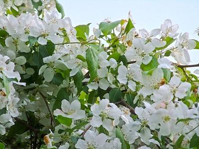 DSCF2425_apple_blossoms[1]
