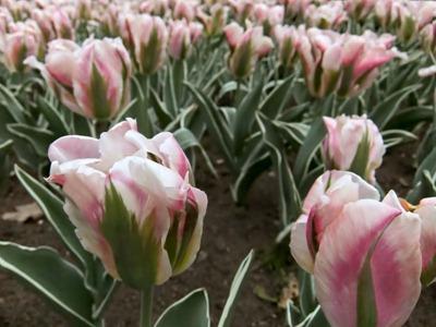 DSCF2464_tulips[1]