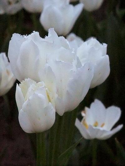 DSCF2472_tulips[1]