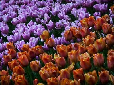 DSCF2481_tulips[1]