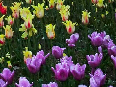 DSCF2484_tulips[1]