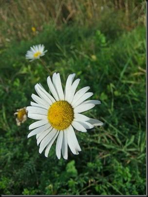 DSCF4825_f70exr_daisy_100iso[1]