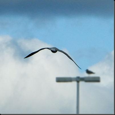 DSCF0343_flying_gull[1]