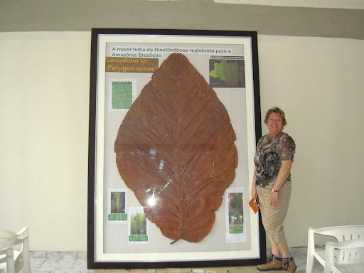 http://lh6.ggpht.com/_RdnRnjnPnWE/RqTMgVJQuHI/AAAAAAAAAd8/Uiz_HKEWlmI/Largest+leaf+in+world+coccoloba.JPG