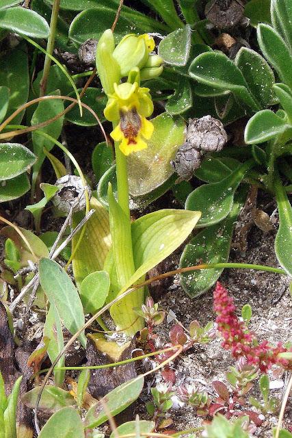 sur Ophrys corsica Dan%20Ophrys%20corsica%203b
