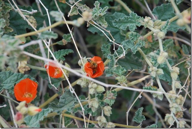 03-08-10  B Organ Pipe Cactus NM 004