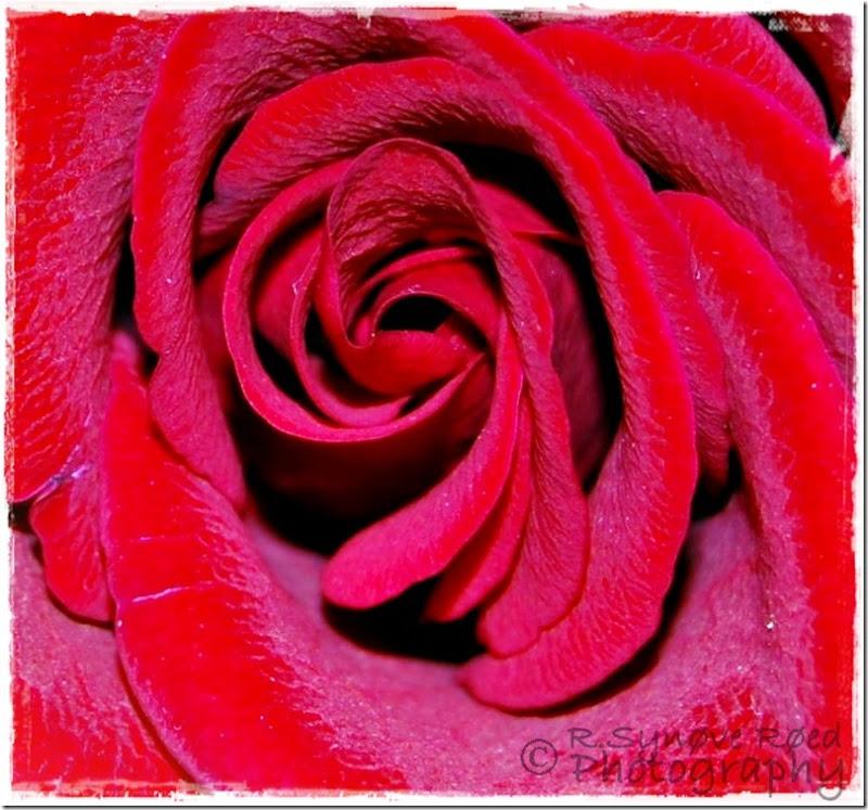 Makro rød rose