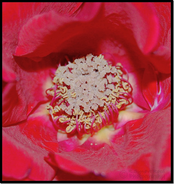 Makro Rose