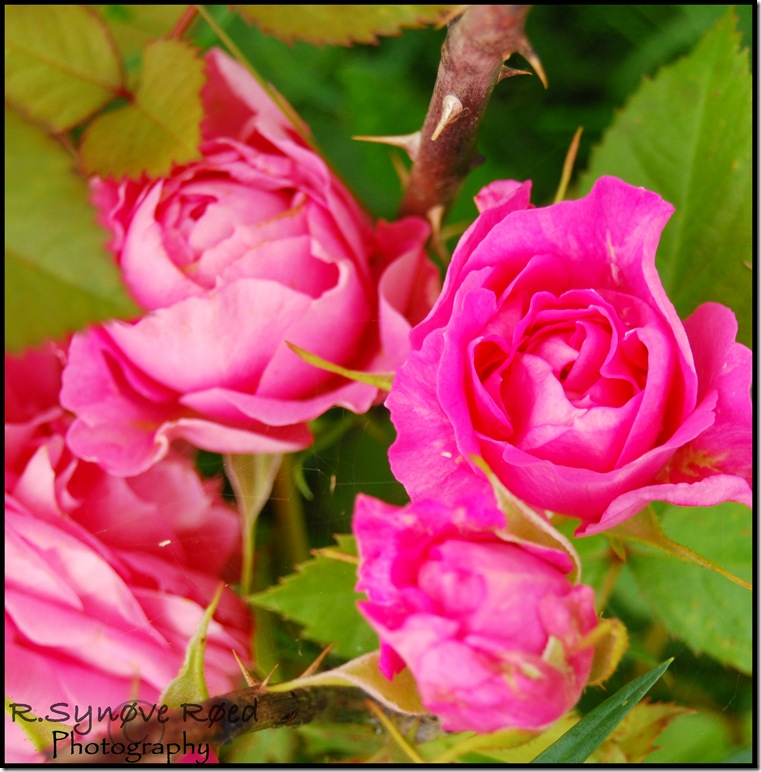 Rosa potterosen