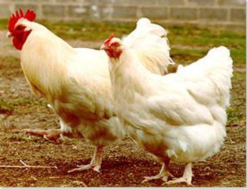 galinha_orpington_brancoG
