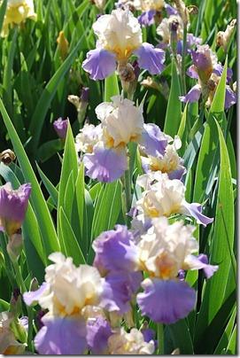 5.15 iris 12