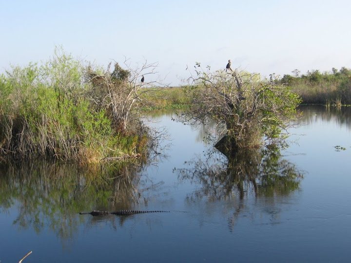 Alligator et oiseaux